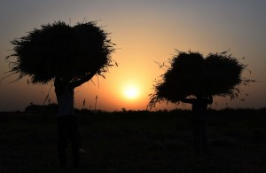 Patna: Farmers take wheat harvest as the sun sets, at a village in Patna during the 21-day nationwide lockdown (that entered the 13th day) imposed as a precautionary measure to contain the spread of COVID-19, on Apr 6, 2020. (Photo: IANS)