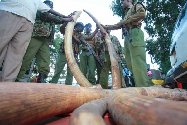 NAIROBI,:  -- File photo shows Kenyan police officers check 302 pieces of ivories, including 228 elephant tusks seized in a warehouse during a raid in the port city of Mombasa, Kenya, June 5, 2014. The World Elephant Day was launched on Aug. 12, 2012 to bring attention to the urgent plight of Asian and African elephants. The escalation of poaching, habitat loss and human-elephant conflict are some of the threats to both African and Asian elephants. (Xinhua)