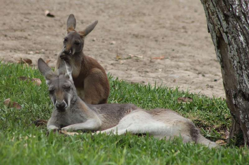A female kangaroo and her offspring rest