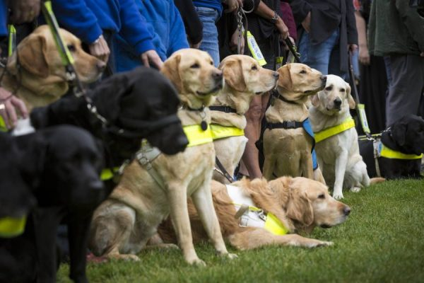 The Guide Dogs for the Blind Association is a British charitable organisation founded in 1931