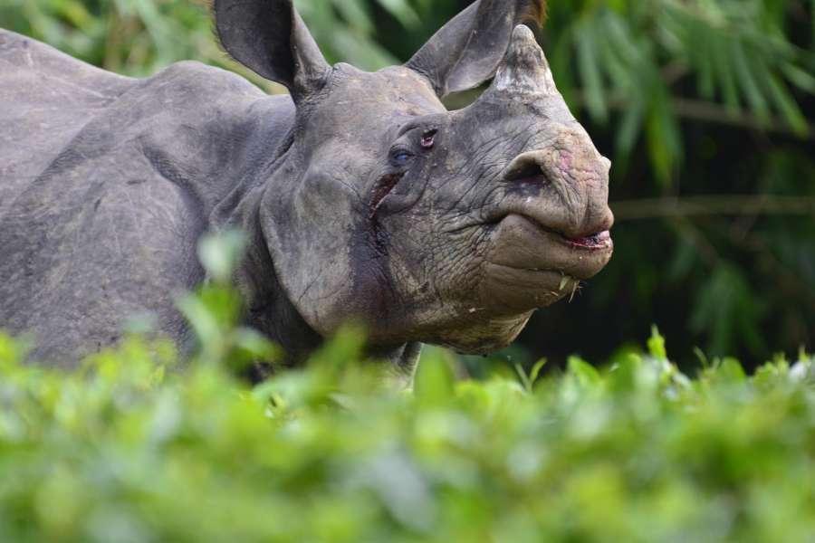 Kaziranga: The rhino that strayed from flooded Kaziranga National Park and entered Jagdamba tea estate of Assa, on July 29, 2016. (Photo: IANS)