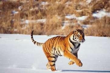 Siberian tiger running in snow by .