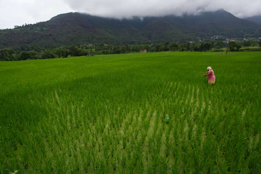 (WORLD SECTION) NEPAL-LALITPUR-DAILY LIFE-PADDY FIELD by .