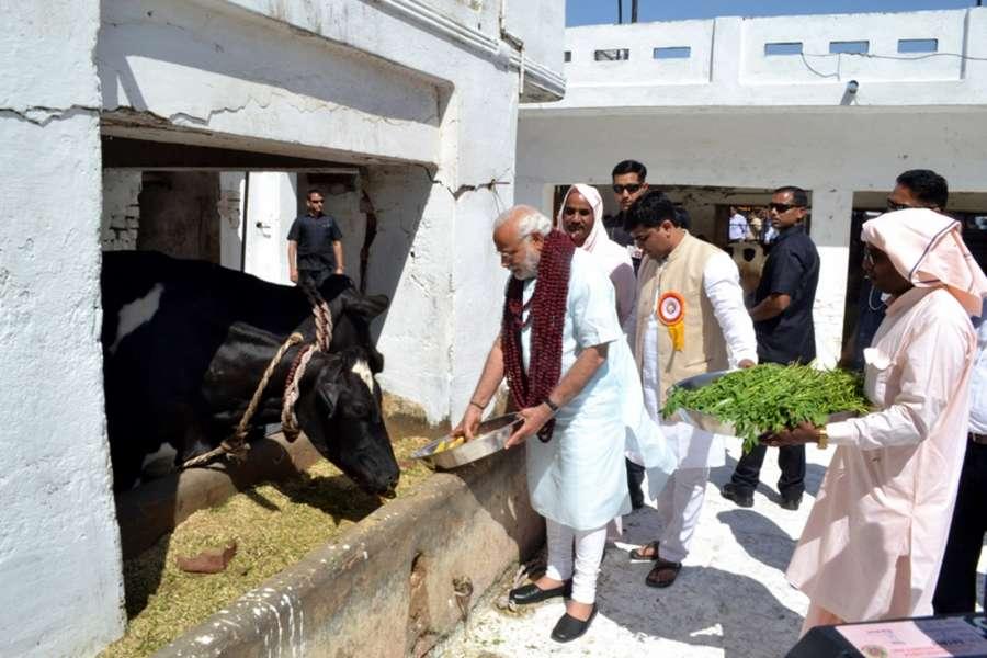 Varanasi: Prime Minister Narendra Modi feeds cows at Garwaghat Ashram in Varanasi on March 6, 2017. (Photo: IANS) by .