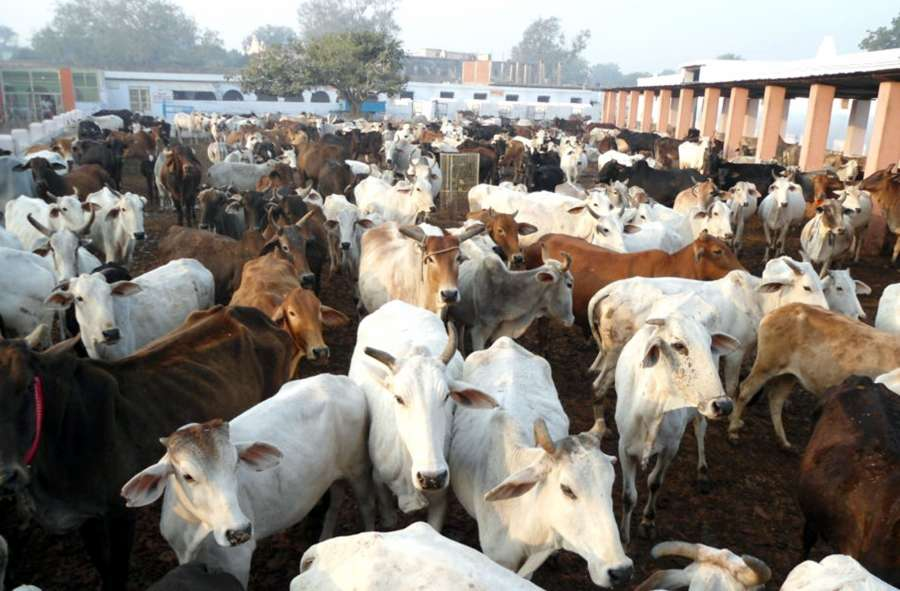 Cows at a cowshed. (File Photo: IANS) by .