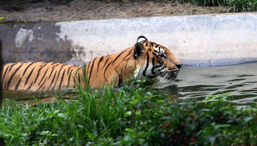 KATHMANDU, July 29, 2017 (Xinhua) -- A Royal Bengal Tiger cools itself at Central Zoo on International Tiger day in Kathmandu, Nepal, July 29, 2017. (Xinhua/Sunil Sharma/IANS) by .