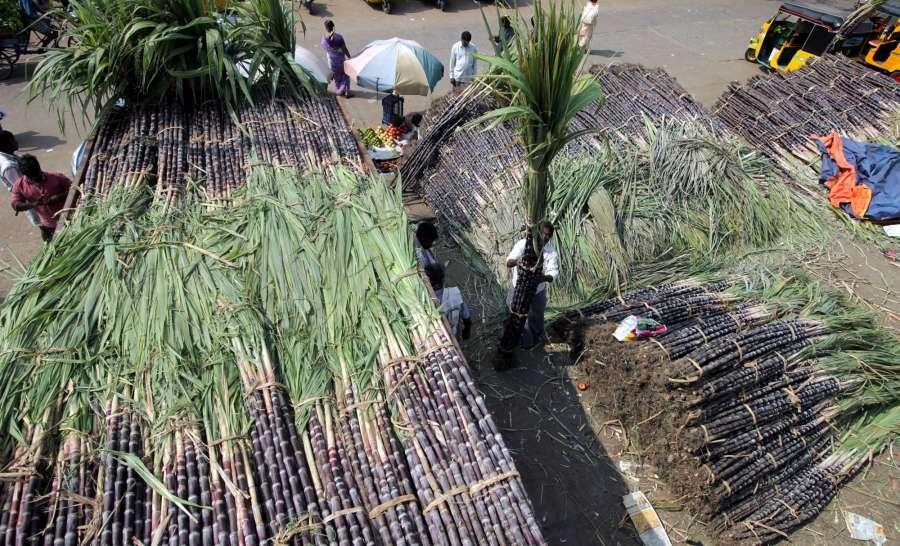 Chennai: Sugarcanes arrive at Chennai market ahead of Pongal on Jan 12, 2017. (Photo: IANS) by .
