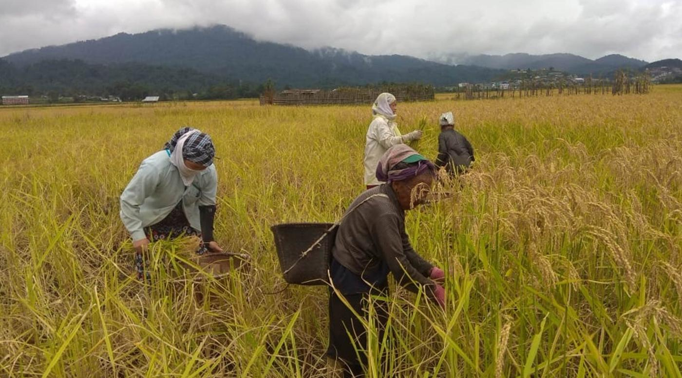 Ziro: Farmers busy in the harvest of paddy crop at an agricultural field, in Arunachal Pradesh's Ziro on Sept 26, 2018. (Photo: IANS) by .