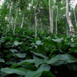 Betel leaf cultivation in an agroforestry matrix. Photo by Biang Syiem. by .